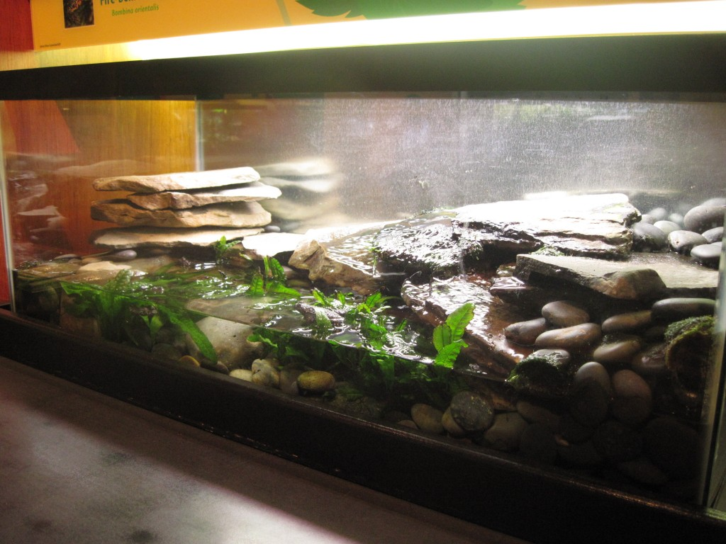 A fire-bellied toad setup made with large river stones and rocks. Live aquatic plants (java fern) are grown in the water.