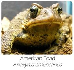 bufo_americanus