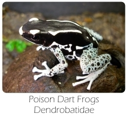 dendrobates_tinctorius