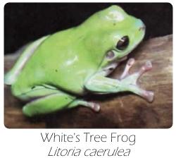 litoria_caerulea