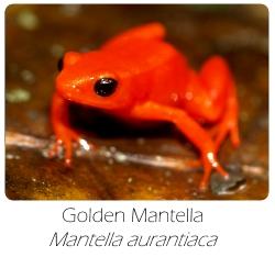 mantella_aurantiaca