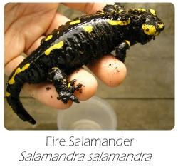 salamandra_salamandra
