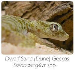 stenodactylus