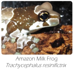 trachycephalus_resinifictrix
