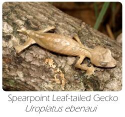 uroplatus_ebenaui