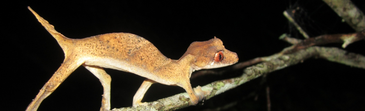 spearpoint_leaf_tailed_gecko