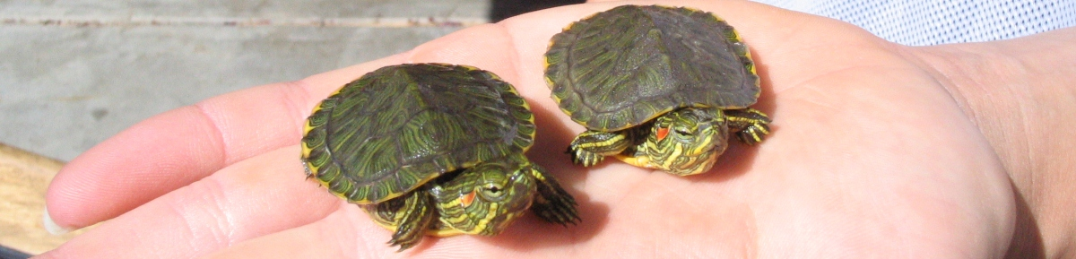 baby_red_eared_sliders