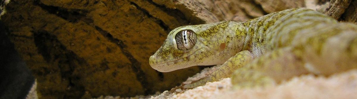 Dwarf Sand Gecko / Dune Gecko - S. sthenodactylus