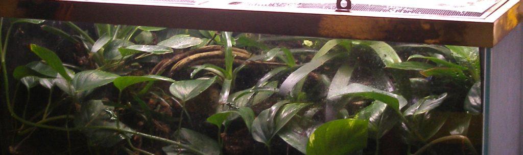 Dendrobates auratus terrarium