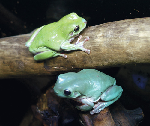 Two common varieties of White's tree frogs: a captive-bred Australian blue (bottom) and more common wild-caught Indonesian green (top).