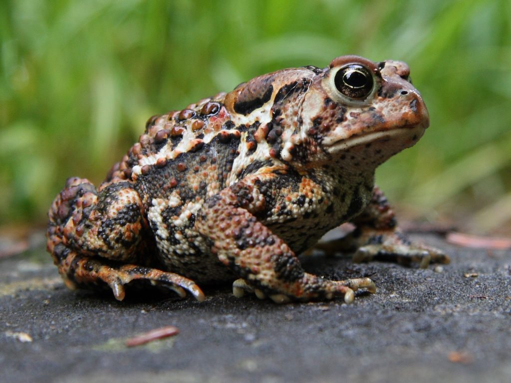 An American toad sitting on a rock
