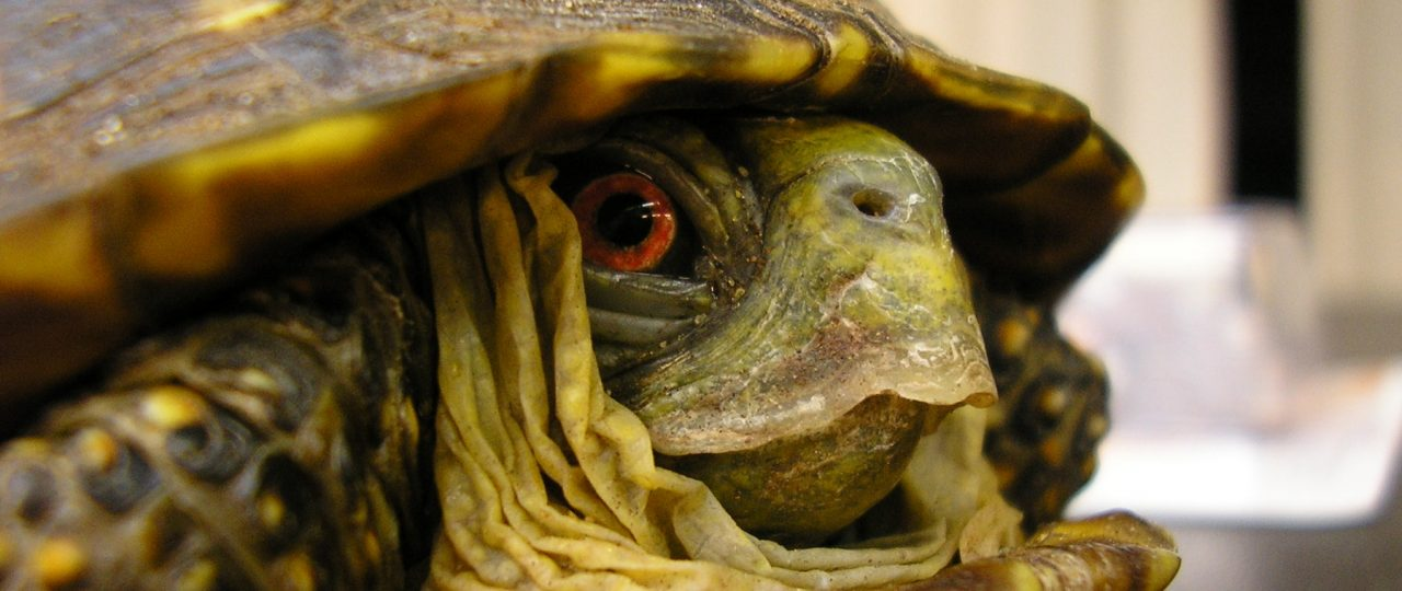 A male Ornate Box Turtle