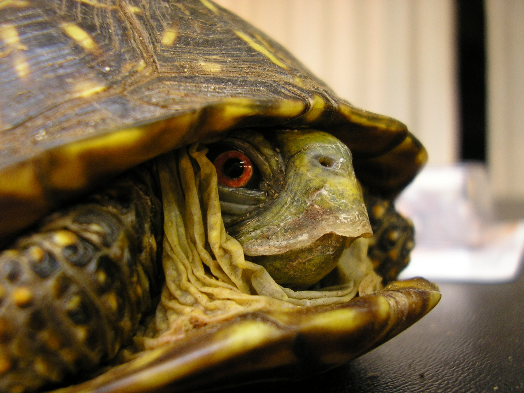 A male Ornate Box Turtle