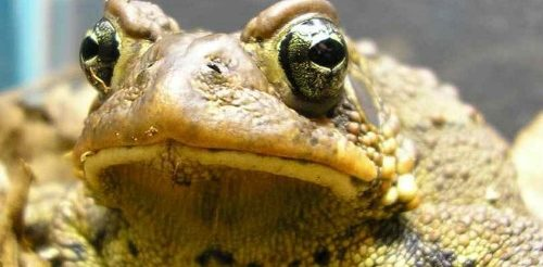 American toad, close-up of head