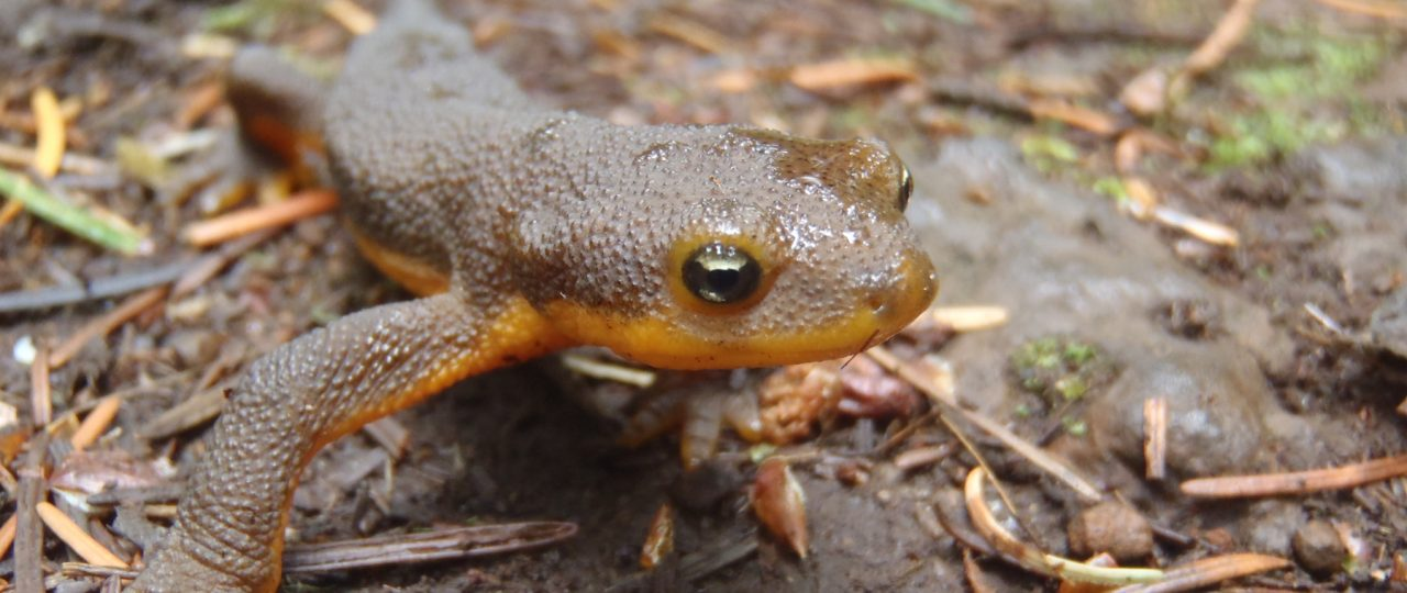 A rough-skinned newt in Oregon