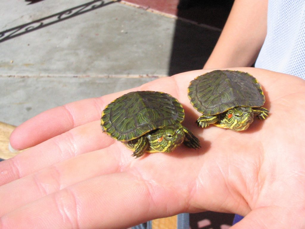 Two baby red-eared sliders on a person's hand