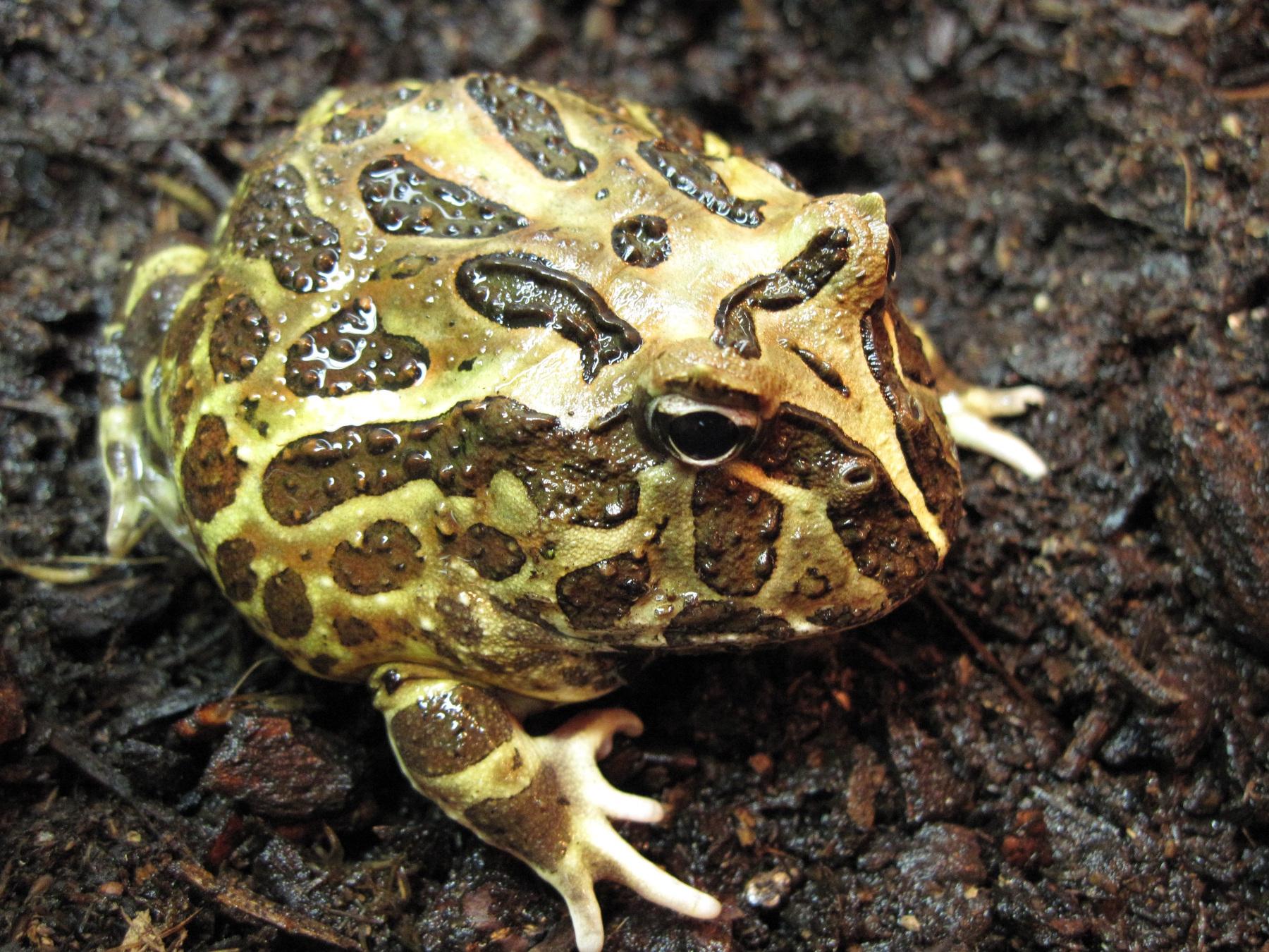 horned frog pacman frog care sheet u003e u003e amphibian care