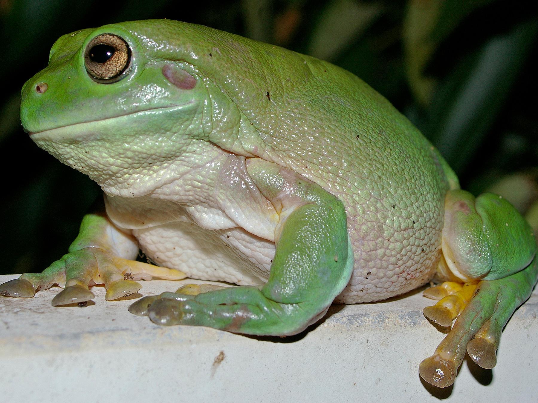 white u0027s dumpy tree frog care sheet u003e u003e amphibian care