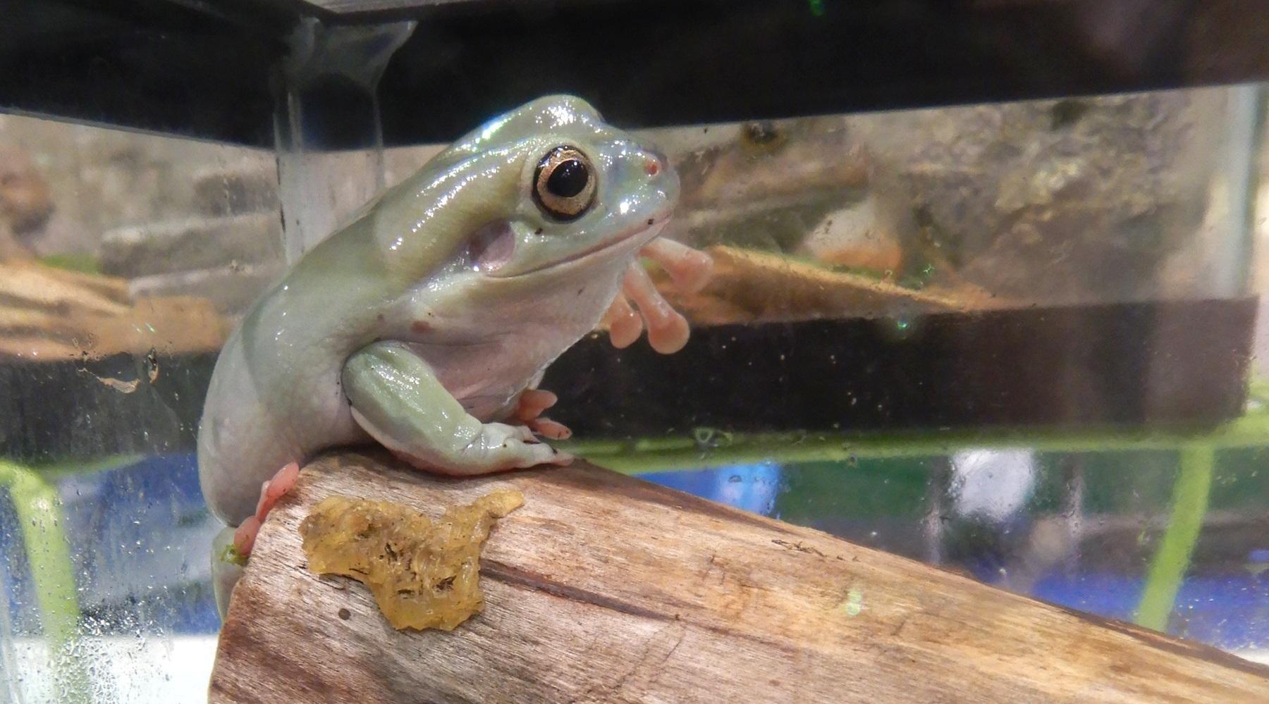 White S Dumpy Tree Frog Care Sheet Amphibian Care