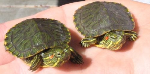 Two baby red-eared sliders on a hand