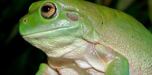 whites_tree_frog