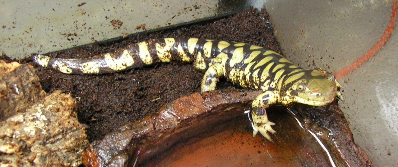 A barred tiger salamander in the terrarium by water bowl