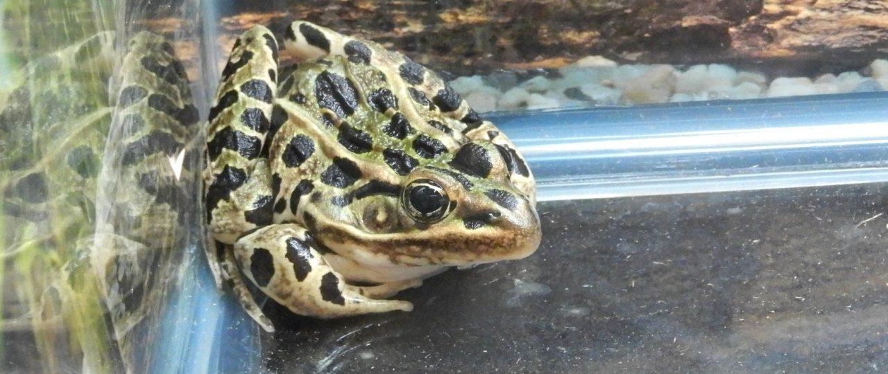 Leopard Frog and Tadpole Care Sheet >> Amphibian Care