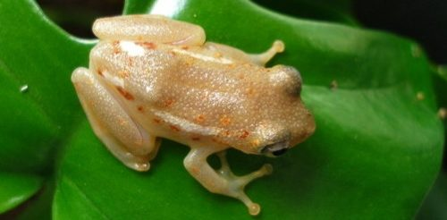 Hyperolius reed frog on green leaf