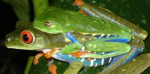 Red-eyed tree frog pair in amplexus