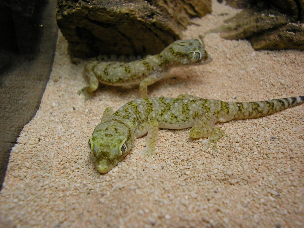 Dwarf Sand Geckos in the terrarium