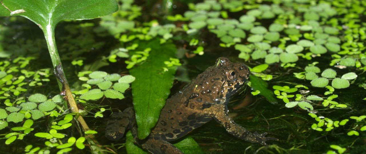 A fire-bellied toad in the aquarium