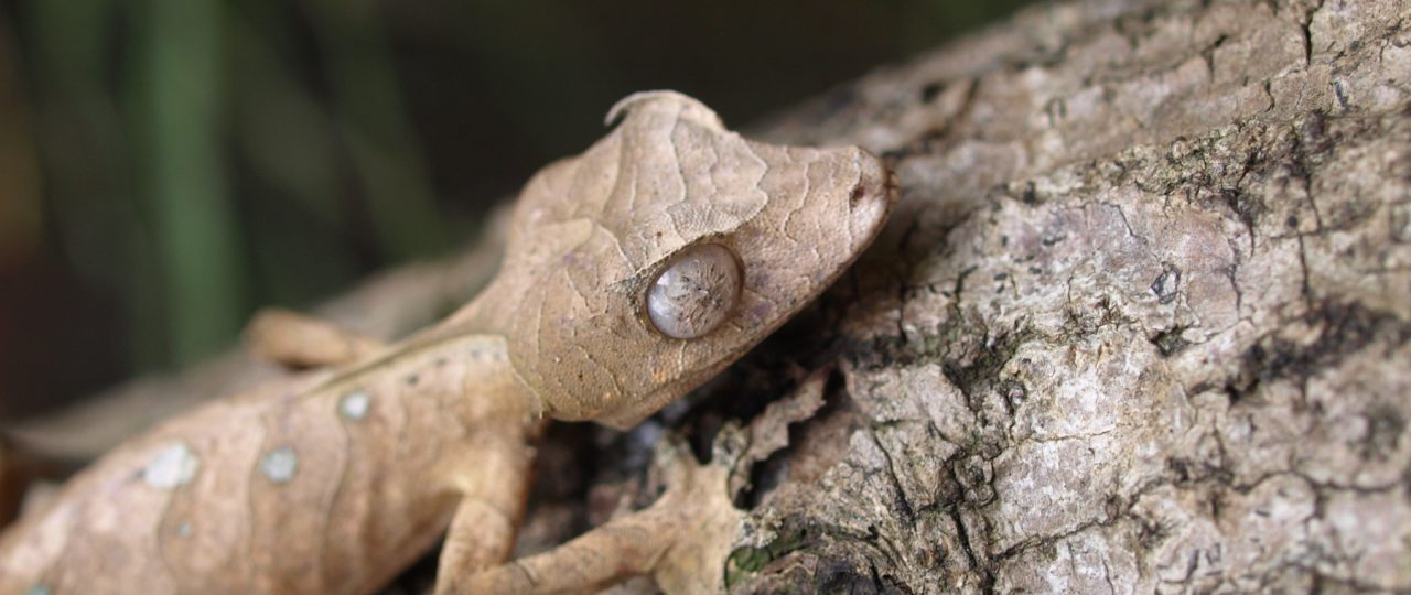 Leaf-tailed gecko on bark