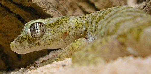 Dwarf sand gecko