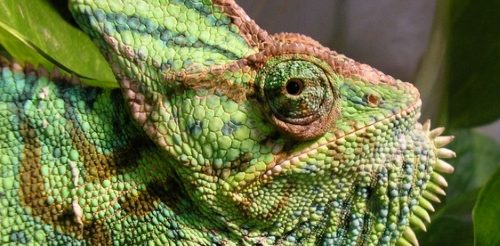 Female veiled chameleon closeup of head