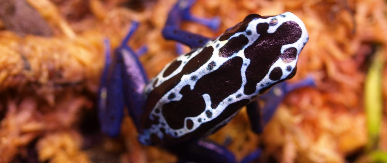Dendrobates tinctorius 'New River' on moss