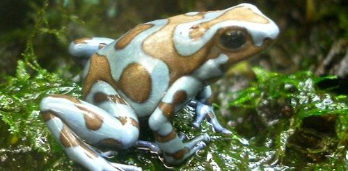 Dendrobates auratus 'Super blue' on java moss