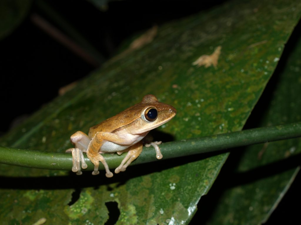 Golden Tree Frog perched on vegetation