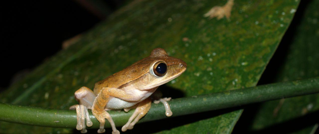 Golden Tree Frog perched on vegetation
