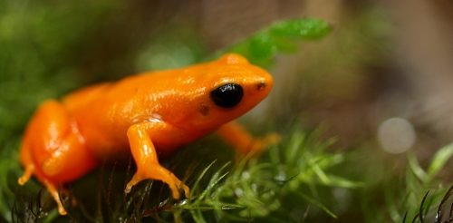 Golden mantella on moss