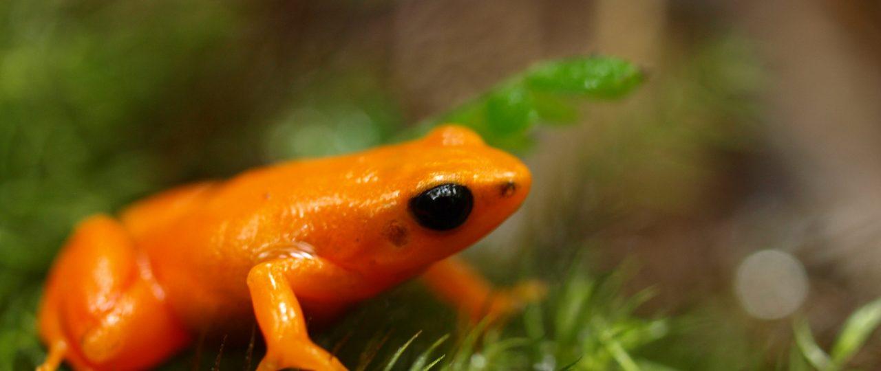 Golden Mantella Frog - Mantella aurantiaca