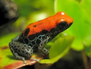 Ranitomaya reticulata