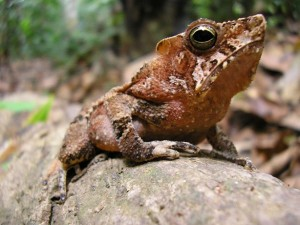 A head shot of a toad with a crest behind its head