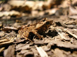 Toad in the leaf litter