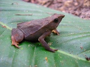 Rhinella toad in Peru