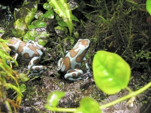Two green and brown poison dart frog Dendrobates auratus in terrarium