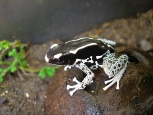 White, black, and light blue poison dart frog on top of a coconut hut