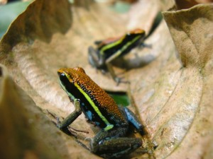 Two Ameerega cainarachi poison frogs in a dead leaf