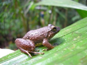 A brown frog on a green leaf