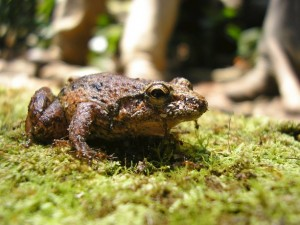 A brown frog on moss, Prisimantis species in Peru