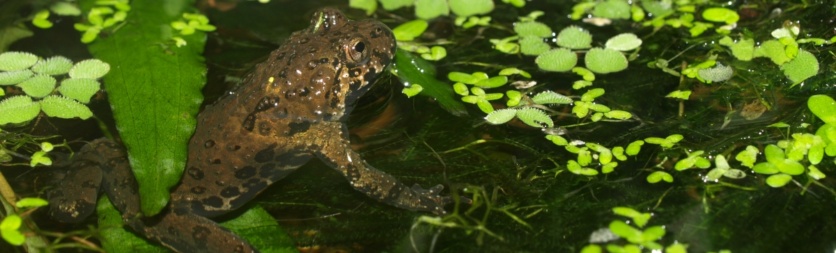 Fire-bellied toad in the water of its housing